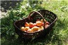 Panier à récolte vigneron en osier grand modèle 55 cm